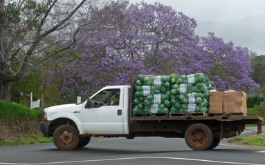 Cabbage and Jacaranda